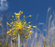 Vista del primo piano del flavum giallo dell'allium del fiore su un prato Flavum dell'allium, la piccola cipolla gialla o a fiore Fotografia Stock