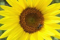 Vista del primo piano del girasole con l'ape fotografie stock