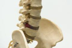 Vista del primo piano del modello della vertebra lombare fotografia stock