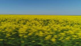 Vista del primo piano nel grande settore di moto rapido coperto di file dei fiori luminosi del seme di ravizzone contro cielo blu stock footage