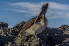 Vista del primo piano del pellicano di Galapagos immagini stock