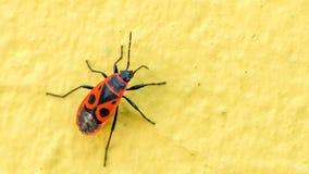 Vista del primo piano del pyrrhocoris apterus dell'insetto del Firebug sulla parete gialla Immagini Stock Libere da Diritti