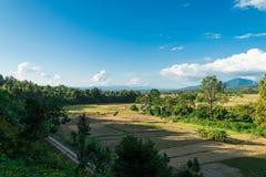 Vista del raccolto del riso alla campagna Immagine Stock