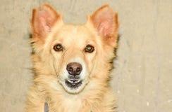 Vista del ritratto del cane di Brown Fotografia Stock
