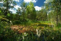 Vista del tomentosum del rododendro del pantano Fotos de archivo libres de regalías