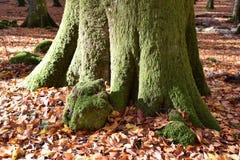 vista del tronco grande de la haya cubierto con el musgo verde imagen de archivo