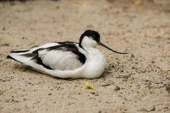 Vista del waterbird in bianco e nero di avocetta pezzata fotografie stock libere da diritti