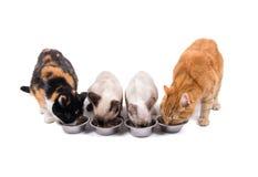 Vista delantera de cuatro gatos, adultos y gatitos, comiendo Imagen de archivo libre de regalías
