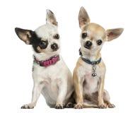 Vista delantera de dos chihuahuas que llevan los cuellos, sentándose Fotografía de archivo libre de regalías