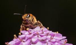 Vista delantera de la abeja de alimentación Fotografía de archivo libre de regalías