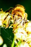 Vista delantera de la abeja de la máquina segador Fotos de archivo libres de regalías