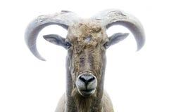 Vista delantera de la cabra de montaña foto de archivo
