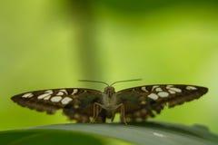 Vista delantera de la mariposa Foto de archivo libre de regalías