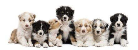 Vista delantera de los perritos australianos del pastor Imagen de archivo