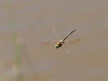 Vista delantera de parte delantera superior del aenea esmeralda suave de Cordulia de la libélula Imágenes de archivo libres de regalías