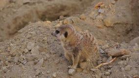 Vista delantera de pocos animales, suricatta del Suricata de Meerkat almacen de metraje de vídeo