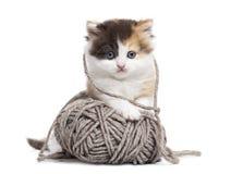 Vista delantera de un gatito recto de la montaña que juega con una bola de las lanas Foto de archivo libre de regalías