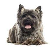 Vista delantera de un mojón Terrier que miente, jadeando, aislado Imagen de archivo libre de regalías