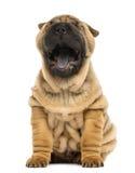 Vista delantera de un perrito del pei de Shar, boca abierta, bostezando imagen de archivo