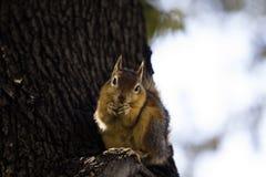 Vista delantera de una ardilla de árbol que come algo en un tronco de árbol fotos de archivo libres de regalías