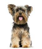Vista delantera de una sentada de Yorkshire Terrier, jadeando fotos de archivo