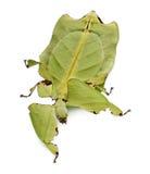 Vista delantera del insecto de hoja, recorriendo imagen de archivo
