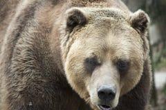 Vista delantera del oso grizzly femenino Fotos de archivo