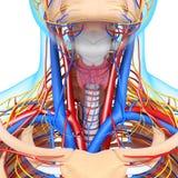 Vista delantera del sistema circulatorio de cabeza Imágenes de archivo libres de regalías