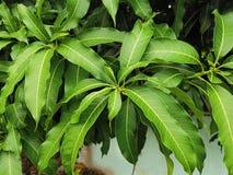 Vista dell'angolo alto delle foglie verdi fresche del mango immagine stock libera da diritti