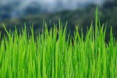 Vista dell'azienda agricola dei risi Fotografia Stock