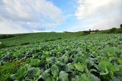 Vista dell'azienda agricola del cavolo a Phu Thup Boek, Tailandia Fotografia Stock Libera da Diritti