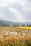 Vista dell'azienda agricola della pianta di riso Fotografia Stock Libera da Diritti
