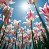 vista dell'Errore di programma-occhio, fiori da sotto 1 Fotografie Stock Libere da Diritti