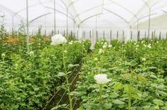 Vista dell'interno di grande gruppo di piantagione dei fiori bianchi in una serra nell'Ecuador Fotografia Stock