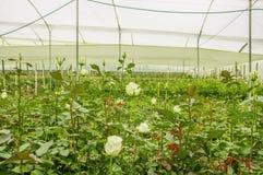 Vista dell'interno di grande gruppo di piantagione dei fiori bianchi in una serra nell'Ecuador Fotografie Stock Libere da Diritti