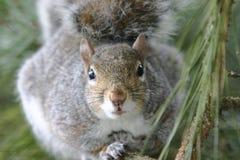 Vista dell'occhio degli scoiattoli Immagini Stock Libere da Diritti