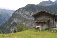 Vista dell'occhio delle mucche Fotografia Stock Libera da Diritti