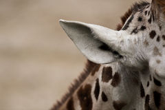 vista dell'orecchio della giraffa Immagini Stock
