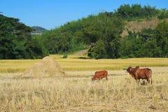 Vista della campagna di agricoltura tailandese Immagini Stock