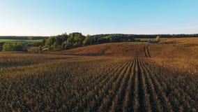 vista della compilazione 4K Volo e decollo sopra il campo di grano al tramonto dorato, vista panoramica aerea archivi video