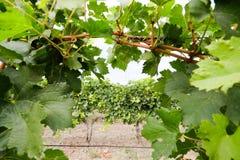 Vista della fila della vigna senza uva Stagione del raccolto dell'uva in Th Fotografia Stock Libera da Diritti