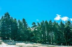 Vista della foresta del pino nell'inverno Fotografia Stock