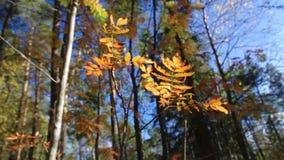 Vista della foresta dell'europeo di autunno stock footage