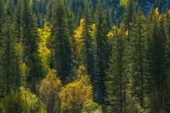 Vista della foresta di autunno di Altay Mountains nella Repubblica di Altai Fotografia Stock