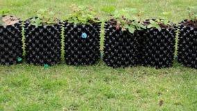 Vista della fragola di bosco piantata in aero-vasi di plastica Concetto di giardinaggio archivi video
