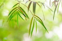 Vista della natura del primo piano della foresta dei bambù della foglia verde sulla sfuocatura del fondo Fotografie Stock
