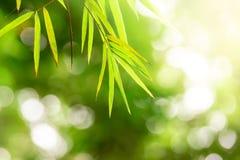 Vista della natura del primo piano della foresta dei bambù della foglia verde sulla sfuocatura del fondo Fotografia Stock
