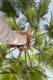 Vista della palma da sotto Fotografia Stock Libera da Diritti