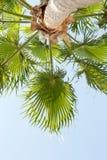 Vista della palma da sotto Fotografie Stock