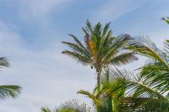 Vista della piantagione dell'albero del cocco dal pavimento inferiore Immagini Stock Libere da Diritti